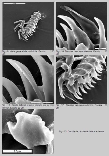 Radula de Okenia elegans by Luis Sánchez-Tocino