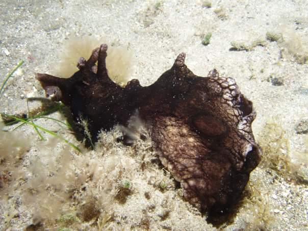 Aplysia dactylomela (dark form) @ Tenerife (Canary Islands) by Manuel Martínez Chacón
