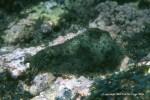 Dolabrifera dolabrifera @ Bom Bom Island, Principe by Peter Wirtz