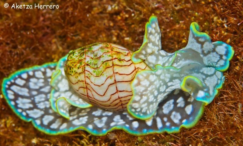 Micromelo undatus @ Gran Canaria by Aketza Herrero