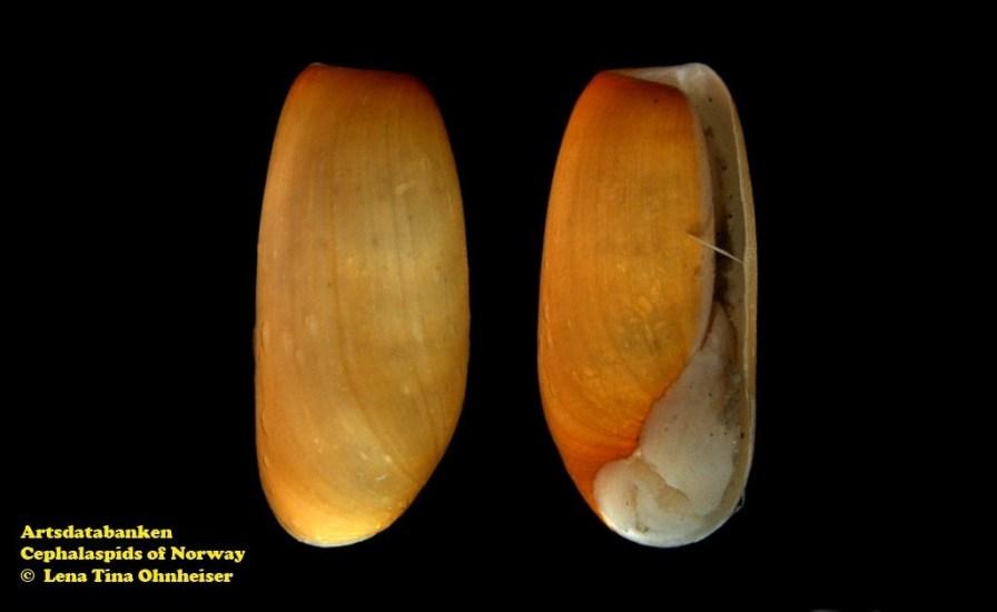 Cylichna alba @ Artsdatabanken - Cephalaspids of Norway - by Lena Tina Ohnheiser
