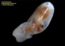 Retusa umbilicata @ Artsdatabanken - Cephalaspids of Norway - by Manuel Malaquias
