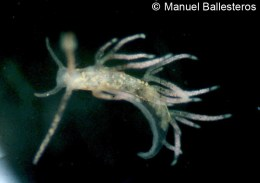 Piseinotecus sphaeriferus @ Cala Canyelles (s-Posidonia) 1981 by Manuel Ballesteros