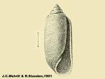 Acteocina (Tornatina) crithodes by Melvill J. C. & Standen R. (1901)