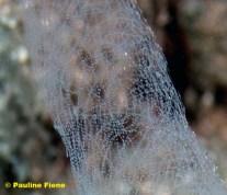Philinopsis speciosa spawn (70mm) @ Makena, Maui 27-08-2008 by Pauline Fiene