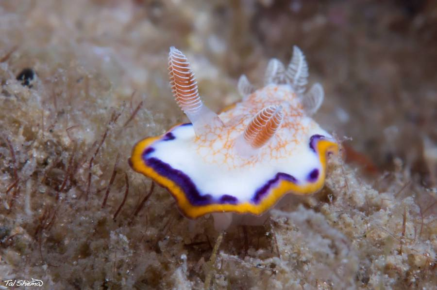 Goniobranchus obsoletus @ Gordon beach, Tel Aviv by Tal Shema