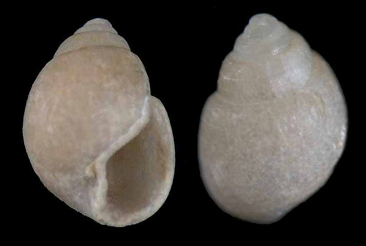 Liocarenus globulinus