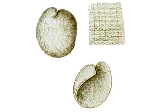 Philine monterosati shell by Marion, A.F. Annales du Museé d