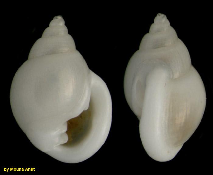 Ringicula conformis Monterosato, 1877 Specimen from La Goulette, Tunisia (soft bottoms 10-15 m, 19.01.2010), actual size 3.1 mm