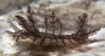 Hermaea cantabra 4-04-2004 by Manuel Caballer