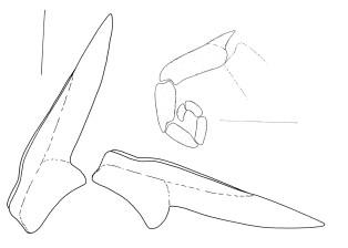 Hermaea cantabra 4-04-2004 dientes radulares (último ascendente y primero descendente), y dientes en asca (8 mm) by Caballer & Ortea, 2015