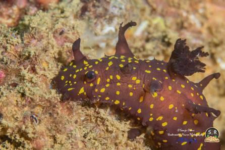 Plocamopherus ocellatus @ Movenpick Beach, Beirut, Lebanon 26.09.2015 by Sonja Ooms