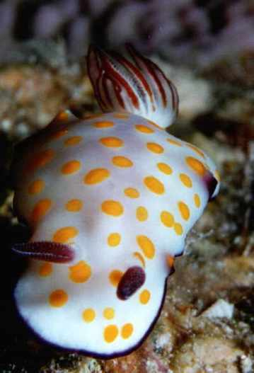 Hypselodoris pulchella @ Sharm-El-Sheikh, Egypt (Red Sea) 27/09/1996 by Erwin Köhler