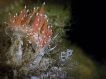 Flabellina gracilis @ Netherlands by Stefan Verheyen