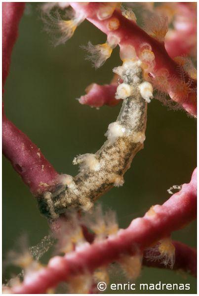 Tritonia nilsodhneri feeding on Alcyonium coralloides by Enric Madrenas