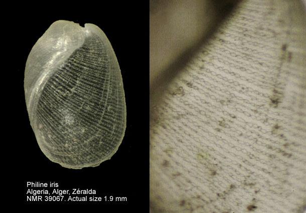 Philine iris @ Zéralda, Alger, Algeria by Joop Trausel and Frans Slieker (Natural History Museum Rotterdam)