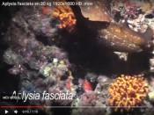 Aplysia fasciata en 30s.
