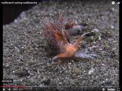 Nudibranquio come nudibranquios