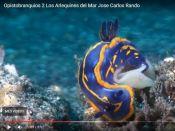 Opistobranquios, Arlequines del Mar
