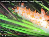 Science Today: Killer Nudibranch