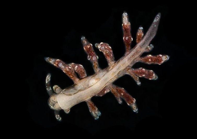 Eubranchus capellinii by Pero Ugarković