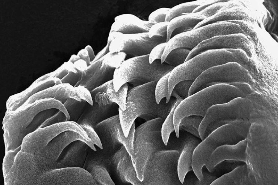 Radula del nudibranquio Polycerella emertoni. Foto de SEM por Judith Camps