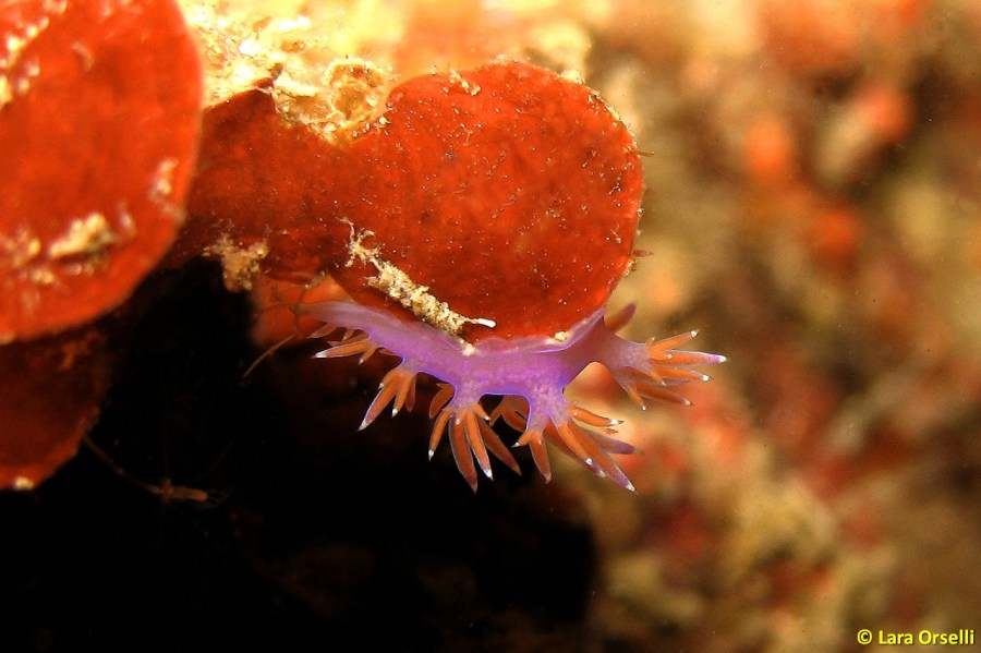 Flabellina affinis @ Sicily, Italy by Lara Orselli
