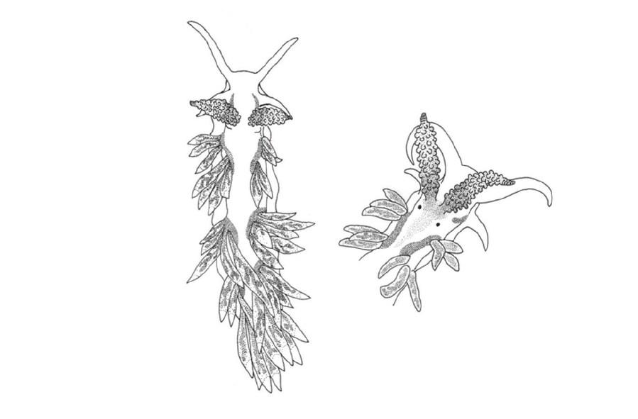 Berghia marinae (mediterranean) by Galià-Camps et al. (2020)