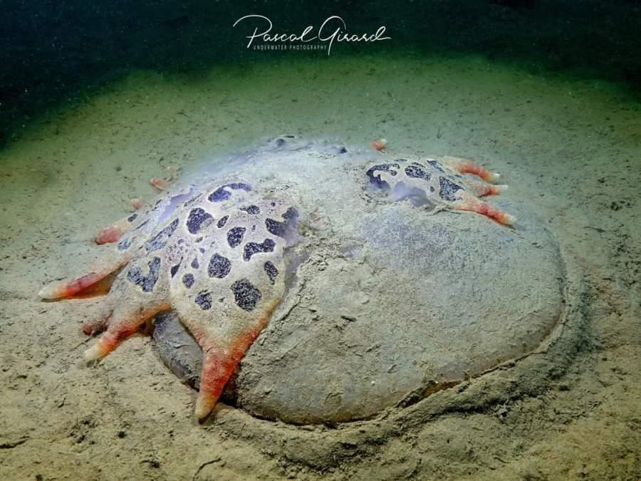 Tethys fimbra @ Pointe de l'Espiguette, Montpellier, France by Pascal Girard