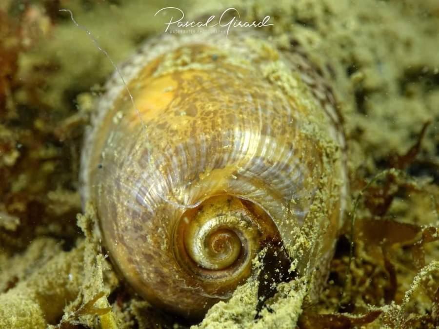 Akera bullata (detail shell) @ Etang de Thau, France by Pascal Girard