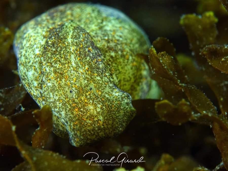Haminoea navicula @ Etang de Thau, France by Pascal Girard