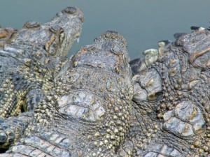 Krokodile im Mekong-Delta