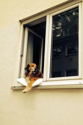 Hund schaut in der Gutenbergstraße aus dem Fenster