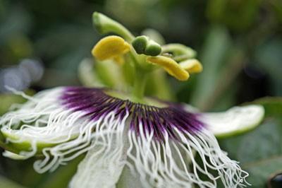Blüte auf Madeira