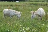 Weiße Esel