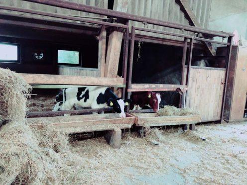 Im alten Stall sind die Kälber