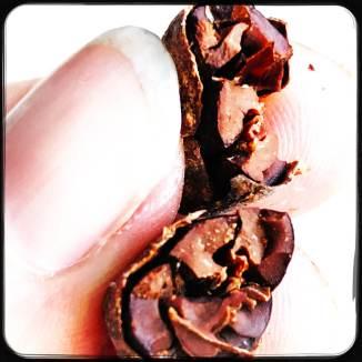 Kakaobohne aufgebrochen