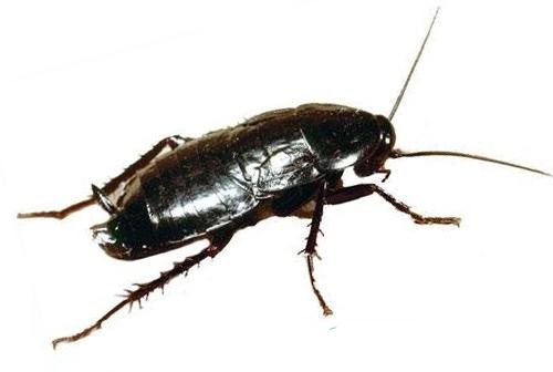 Как выглядят тараканы и что они из себя представляют?