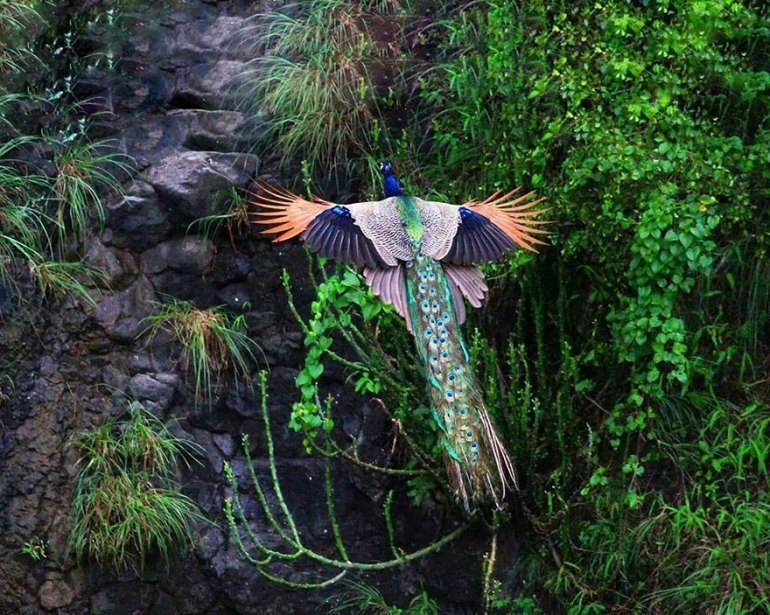 flying-peacock-1