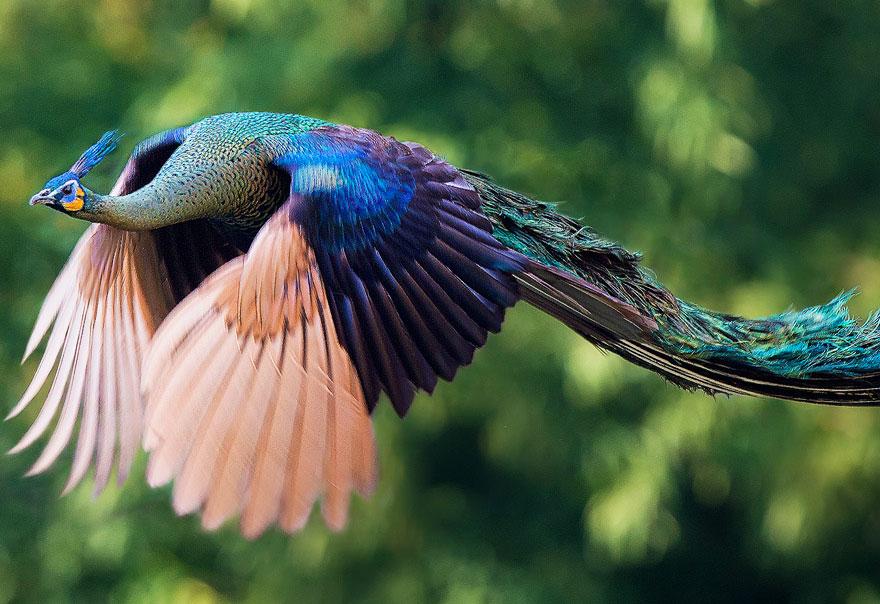 flying-peacock-20