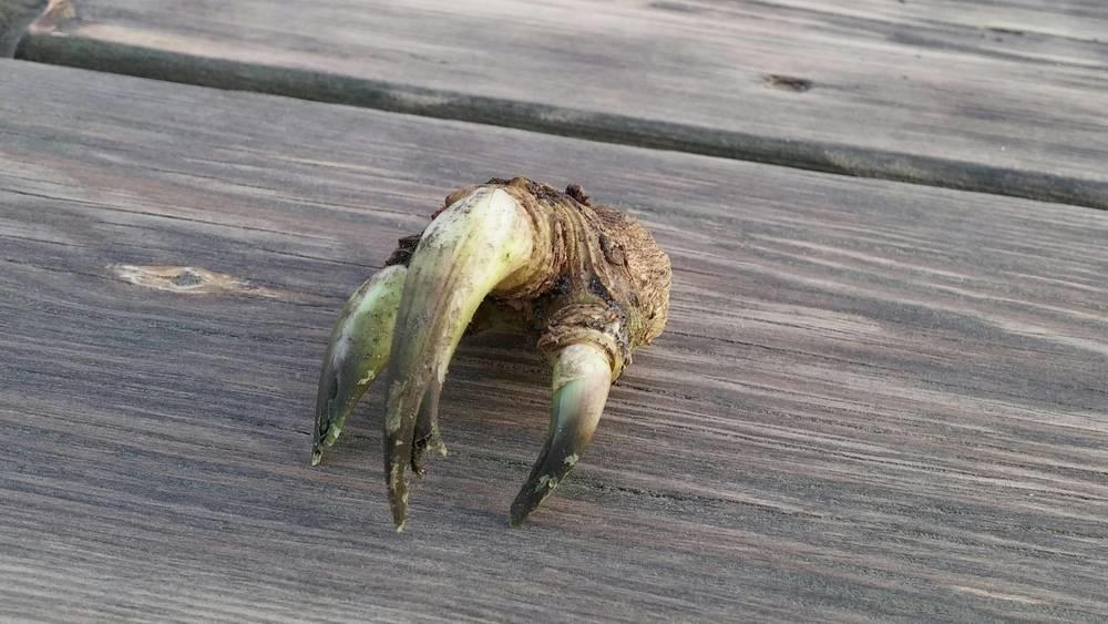 This horseradish root looks like a dinosaur hand.