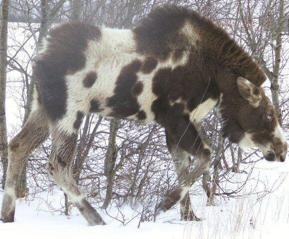 This piebald moose is definitely an unusual thing to come across.