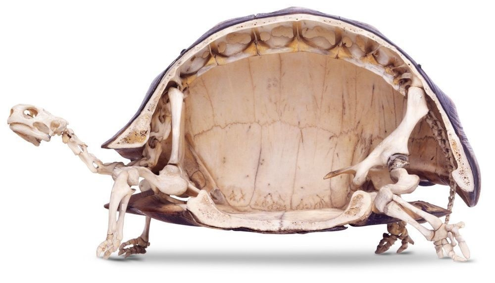 The inside of a tortoise skeleton.