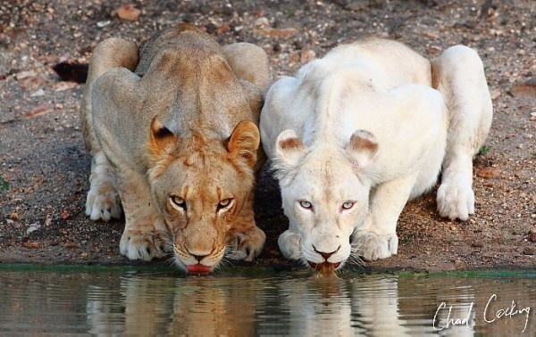 Here, you can see two color variations seen in a pair of lionesses -- the one on the right is leucistic.