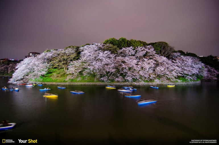 Chidorigafuchi is another one of the popular spots for sakura viewing.