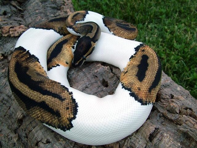 It's not just mammals, either: This is a piebald python.