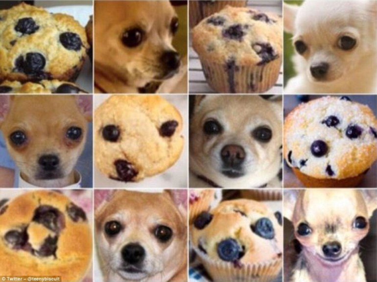 And finally, all of these chihuahuas look like delicious blueberry muffins.