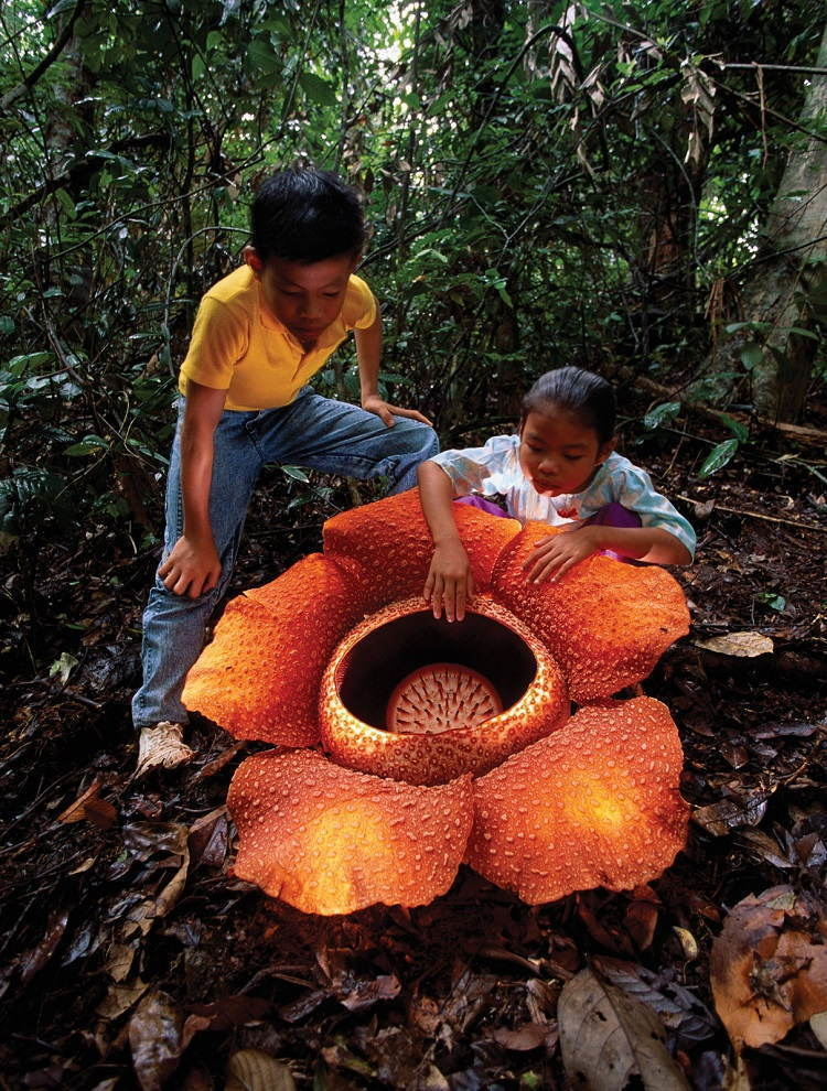 Rafflesia arnoldii is the largest individual flower on Earth.