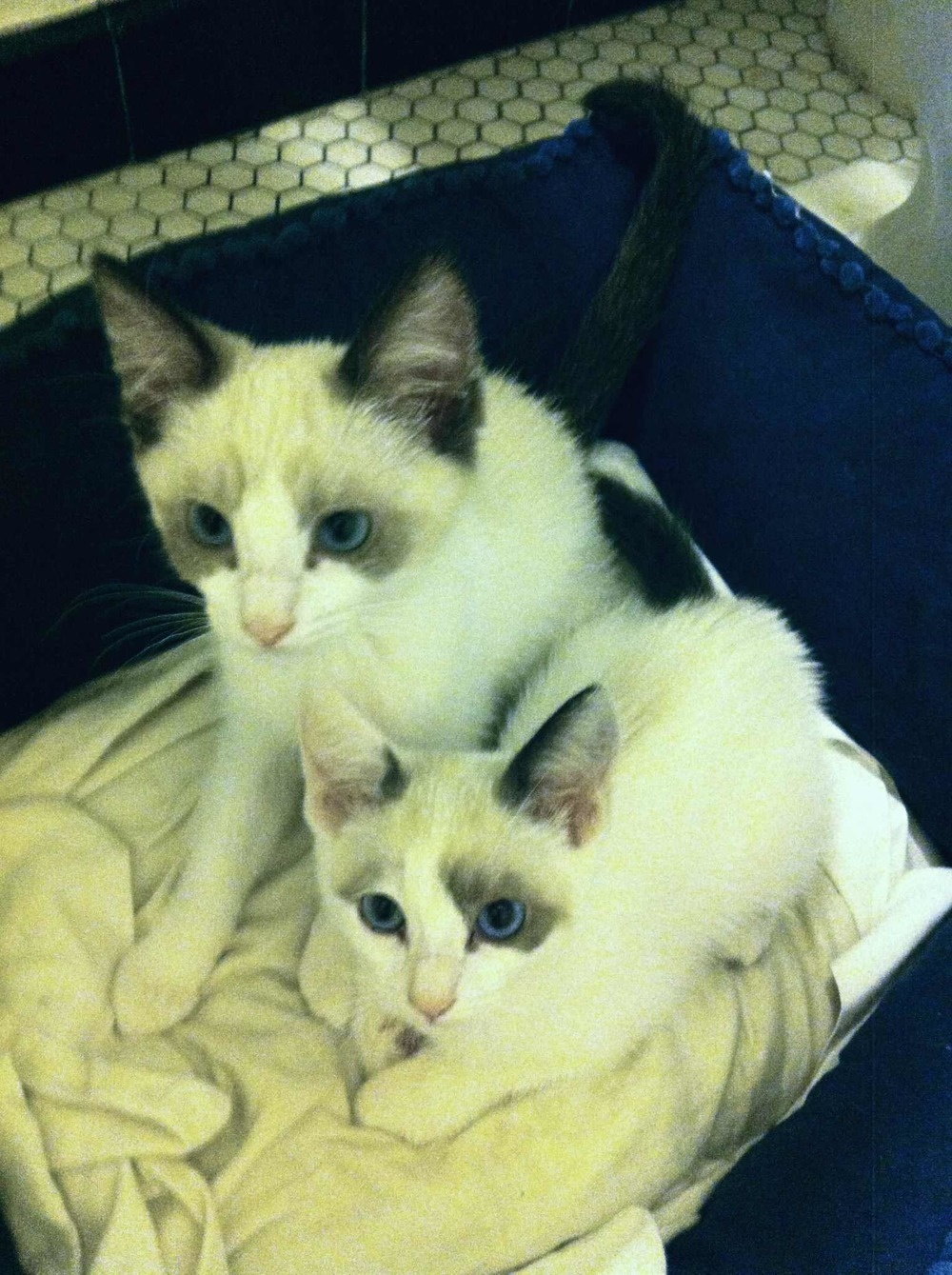 An imgur user has suitably dubbed these two cats Albus and Minerva.