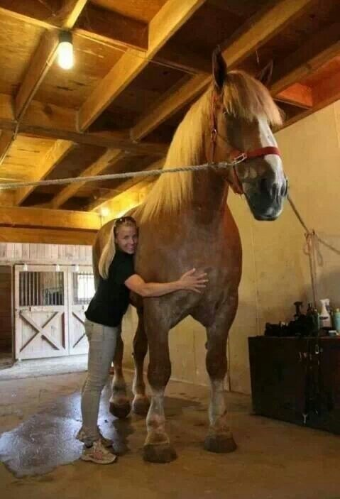 Big Jake: 82.75 inches tall and 2,600 pound horse from Wisconsin.